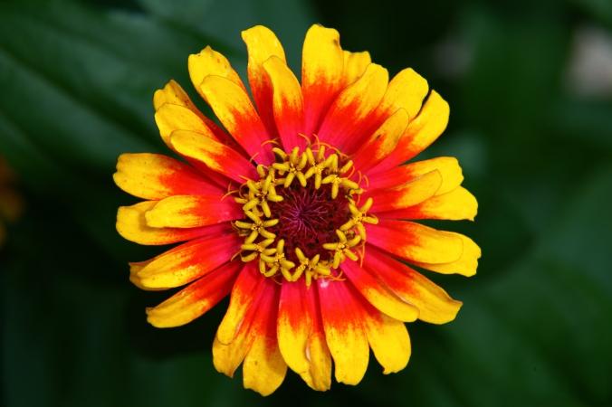 Hippie-flower_-_Virginia_-_ForestWander